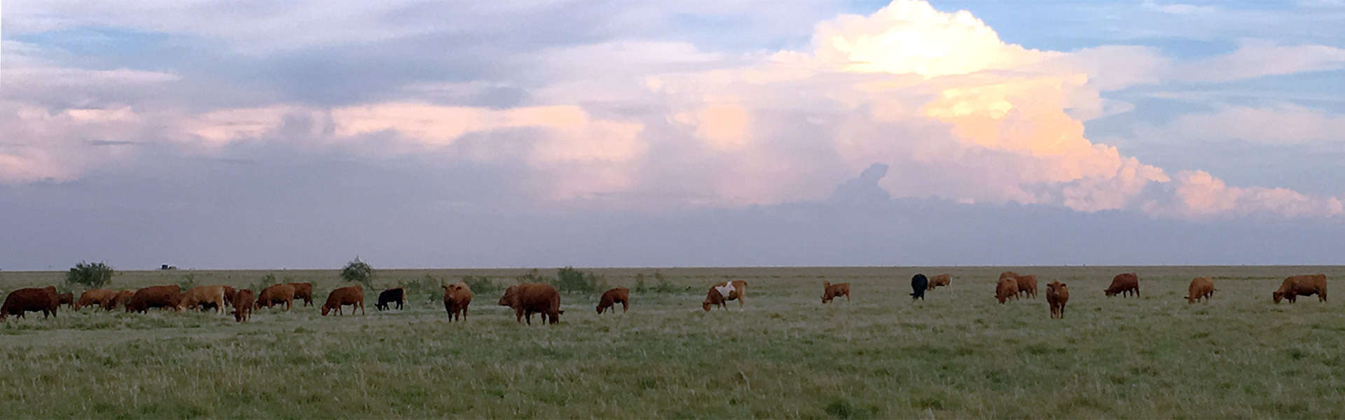 Akaushi cattle grazing on the farm